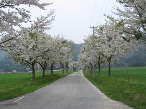 前森高原桜風景